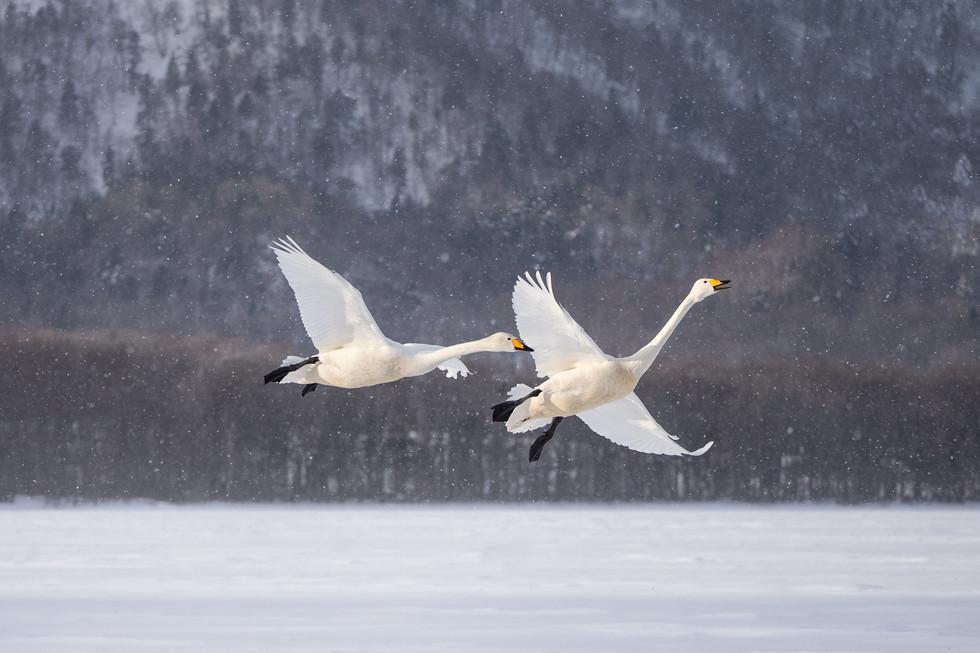 白鳥-32.jpg