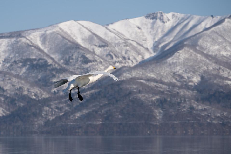 白鳥-44.jpg