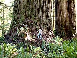 Redwood 1.jpg