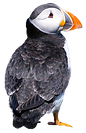 Puffin%203_edited.png
