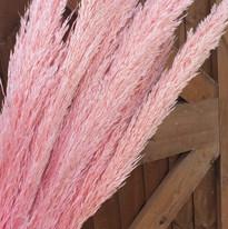 pink pampas.jpg