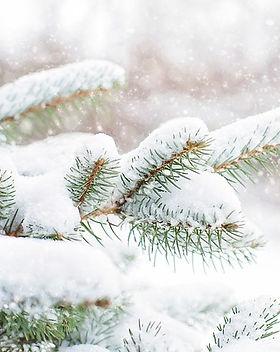 snow-in-pine-tree-1265119_640.jpg