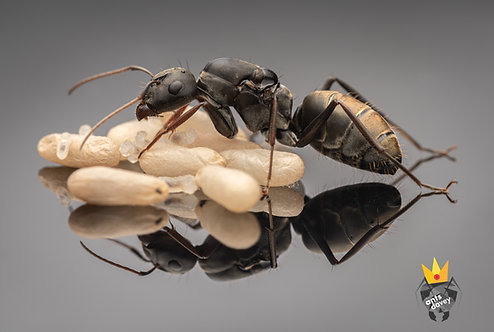Camponotus cinctellus (Shiny Sugar Ant)