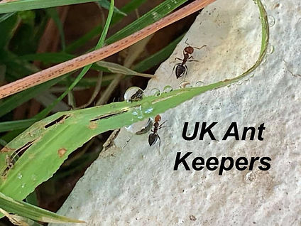 Ants Davey | UK Ant Keepers