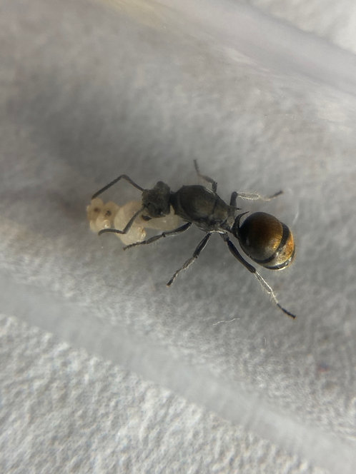 Polyrhachis vermiculosa (Golden-Tailed Spiny Ant)