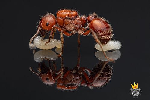 Pogonomyrmex barbatus (Red  Harvester Ant)