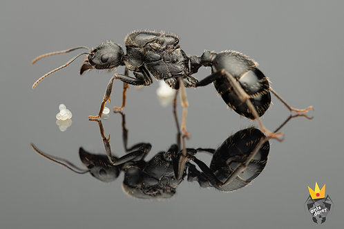 Messor arenarius (Giant Harvester ant)