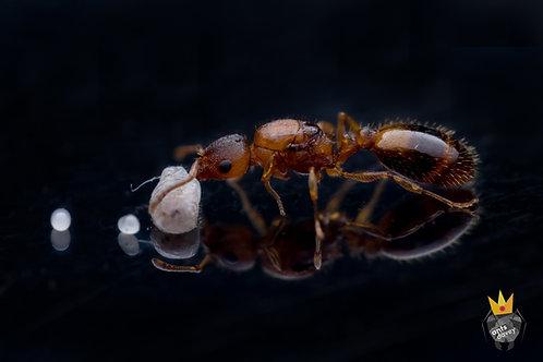 Temnothorax nylanderi (Acorn Ants)
