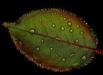 Rosenblatt-Leaf-Wasserperlen-Wet-Drip-Ma