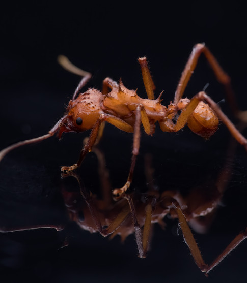 Acromyrmex octospinosus.jpg