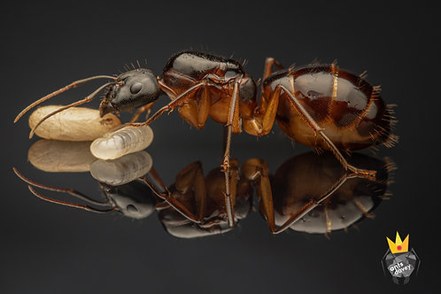 Camponotus samius