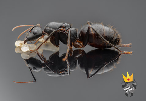 Camponotus laconicus