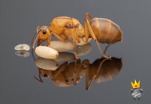 Myrmecocystus mexicanus