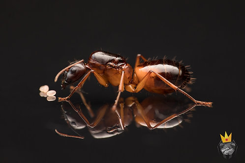 Camponotus sanctus