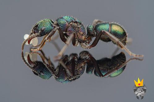 Rhytidoponera metallica (Green-Headed Ant)