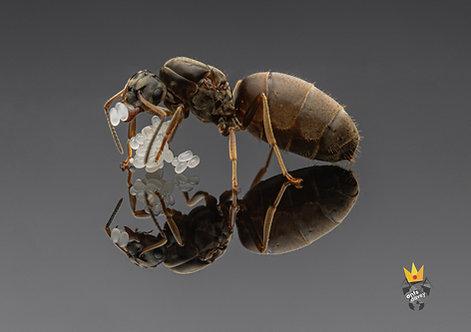Lasius niger