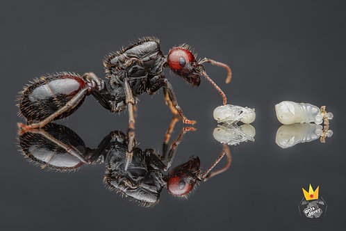 Messor barbarus (Harvester Ant)