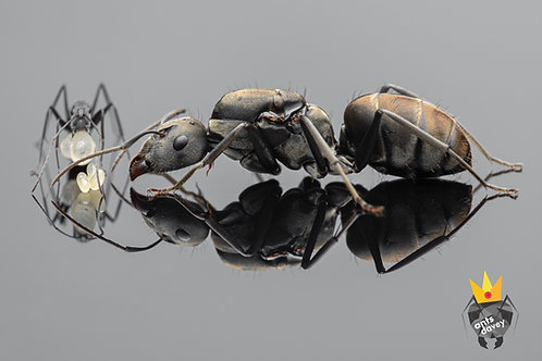 Camponotus auriventris