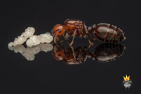 Crematogaster scutellaris