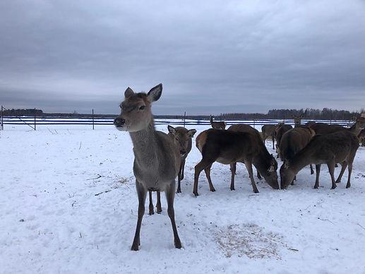 Благородный олень, марал , Эко - ферма Ивановское, панты марала,сено, сенаж
