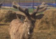 Благородный олень, марал, панты марала, Эко ферма Ивановское, сено, сенаж.