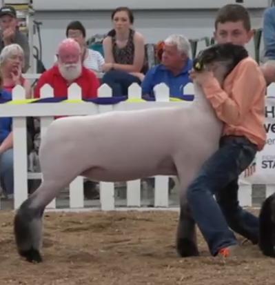 State Fair ewe Lamb.png