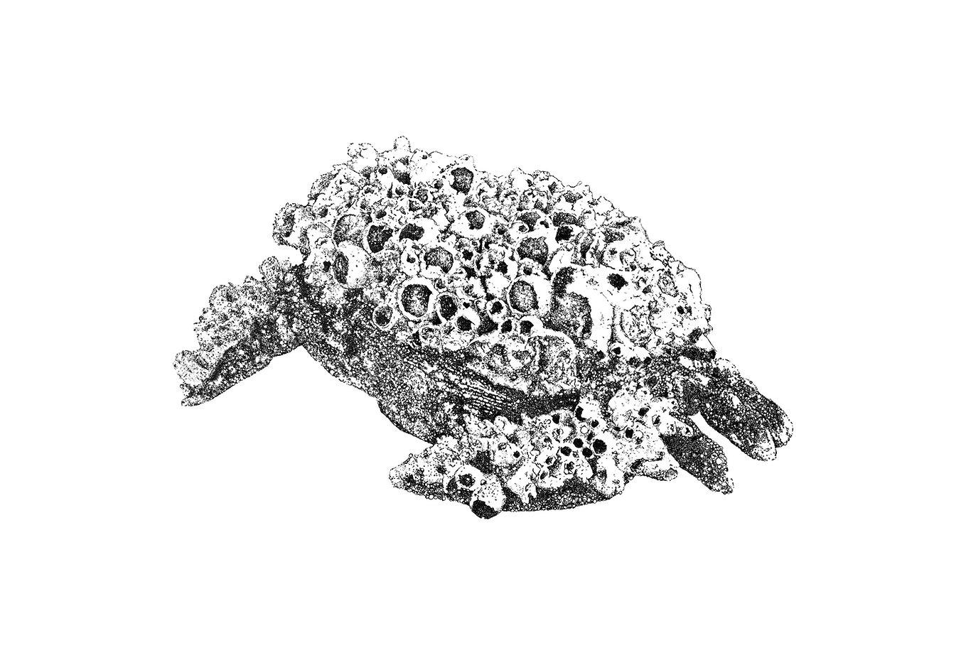 drawing fosca artist roberto cuoghi Granchio Crab ink