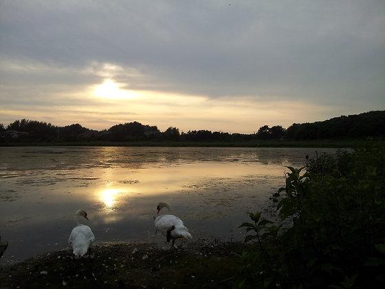 Swan Setting