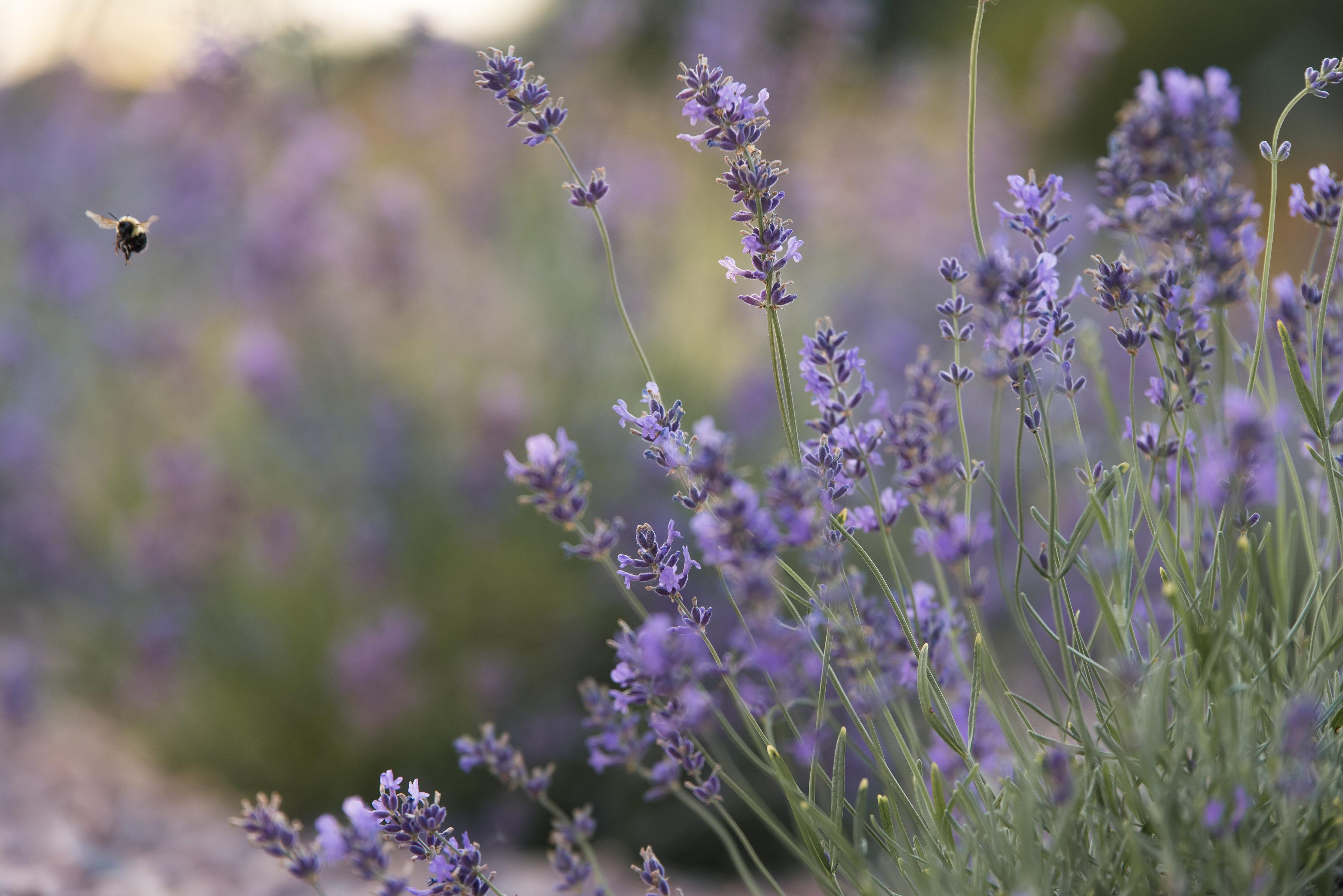 LavenderBeeFloating02
