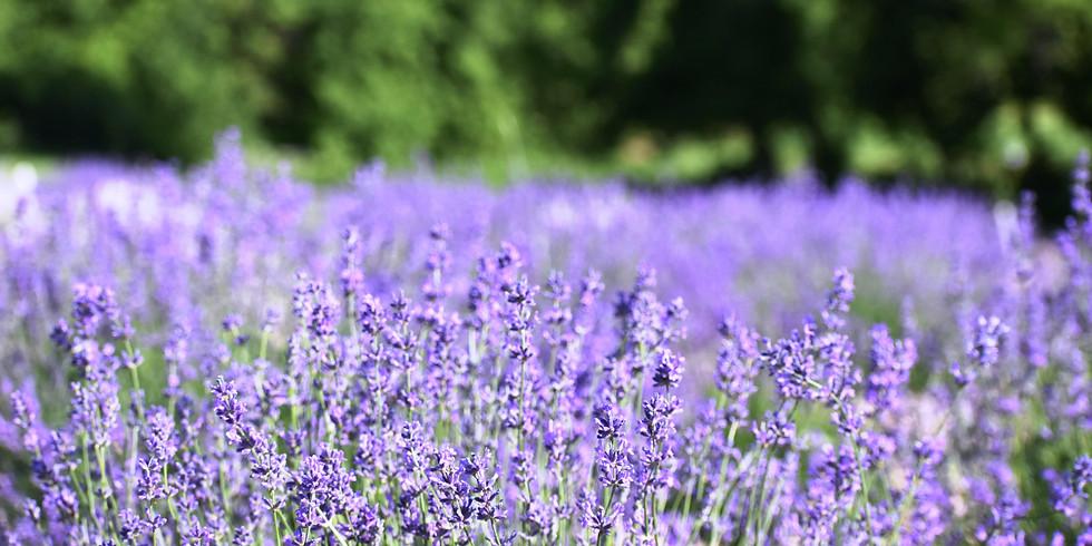 3-Day Live Lavender Plant Sale at New Life Lavender & Cherry Farm