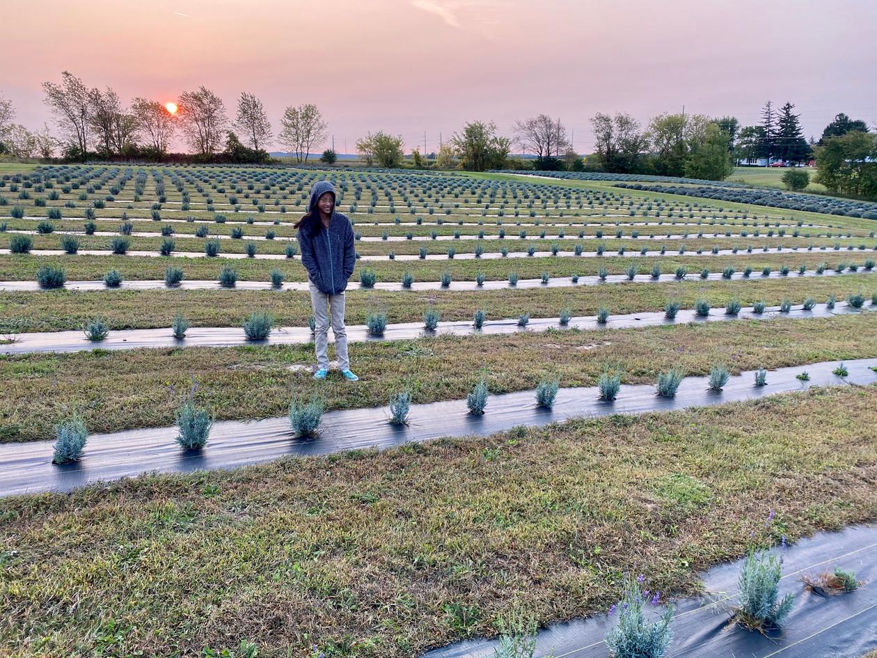 new lavender fields