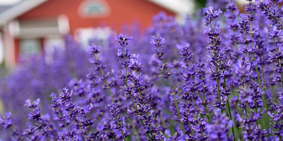 Pre-Order Lavender Plants