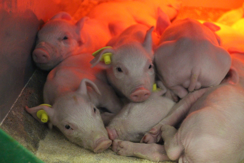 TN70 smågrise fra opformeringsbesætningen Bovbjerg Genetics