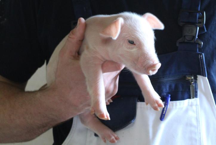 Nyfødt gris fra opformeringsbesætning