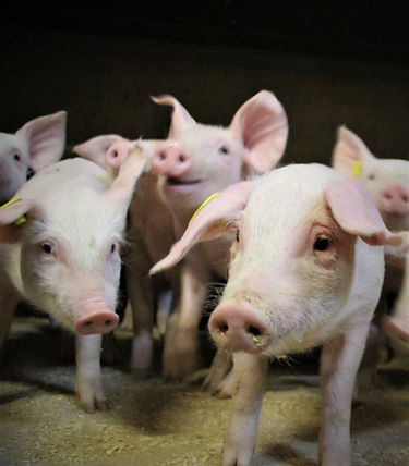 Fravænnede grise 2.jpg