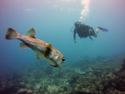 a new scuba diver with a puffer fish
