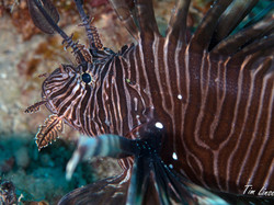 a lionfish at the pier