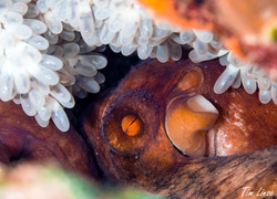 octopus with eggs at the pier
