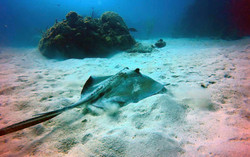 a sting ray at the cane bay wall