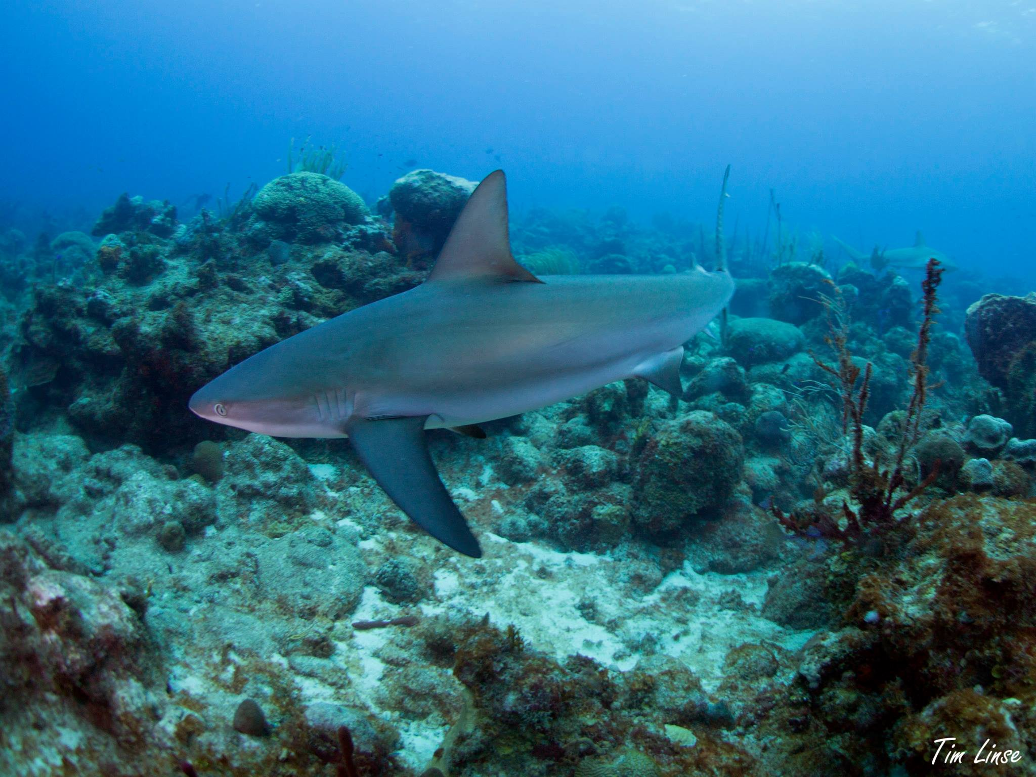 Reef Shark on the Davis Bay Wall