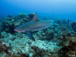 Reef Shark on the Davis Bay Wall
