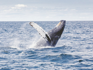 Humpback Whales in St. Croix