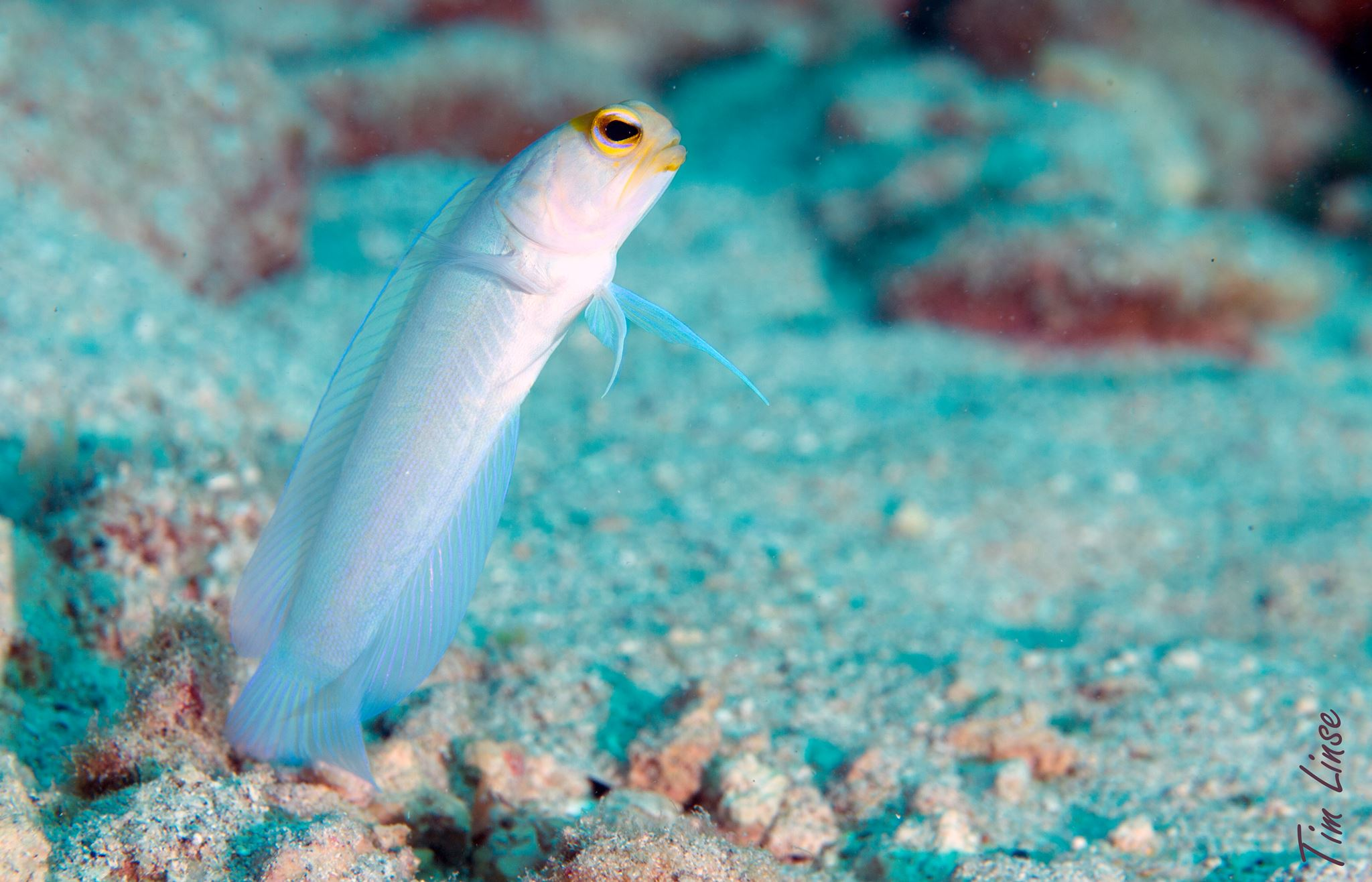 a jawfish at the davis bay wall