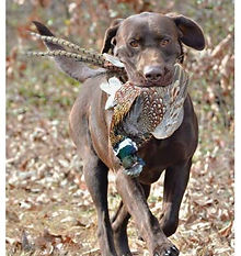 Labrador retriever with pheasant