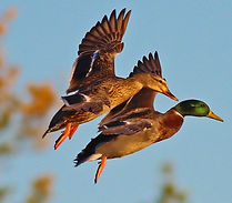 Mallards coming into decoys