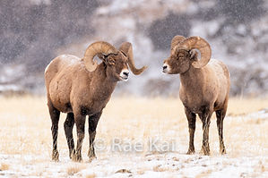 FULLFRAME TWO SHEEP.jpg