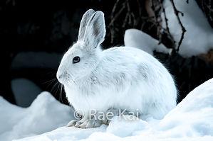 FULLFRAME SNOWSHOE HARE.jpg