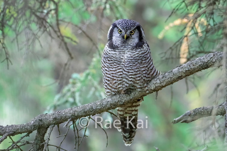 FULLFRAME GREEN OWL.jpg