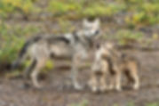 FULLFRAME WOLF PUPS.jpg