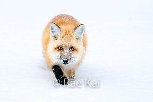 FULLFRAME SNOWY FOX.jpg